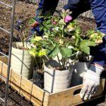 麻溝公園 風のガーデン 植栽作業6