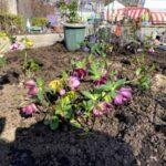 麻溝公園 風のガーデン 植栽作業10